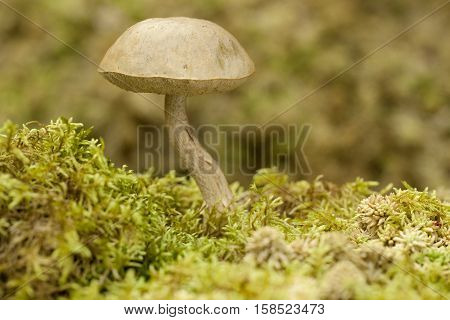 edible mushroom (Leccinum holopus) on green moss