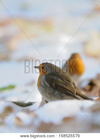 Two European Robins (Erithacus rubecula) among dry leaves in the snow. Moscow Russia