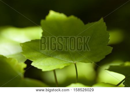 green leaf maple (Acer rubrum) on blurred background
