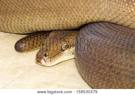 Large brown Python curled up and watching