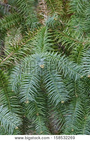 Blue-needled china fir (Cunninghamia lanceolata Glauca). Called Blue china fir also
