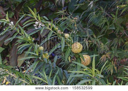 Balloonplant (Gomphocarpus physocarpus). Called Balloon cotton-bush Bishop's ball Nailhead and Swan plant also