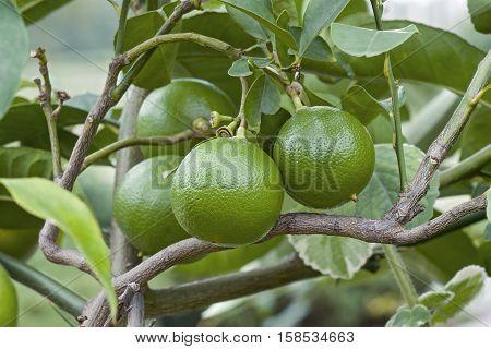Bergamot orange (Citrus bergamia). Hybrid of Citrus limetta and Citrus aurantium probably