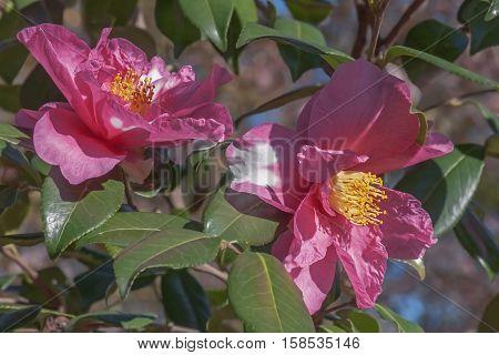 Winter's Fire hybrid camellia (Camellia x hybrid Winter's Fire). A hybrid of Camellia vernalis Takarazuka and Camellia oleifera Frost Prince
