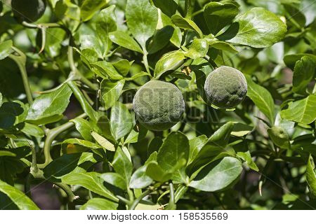 Trifoliate citrus fruits (Poncirus trifoliata). Called Japanese bitter orange Hardy orange and Chinese bitter orange also