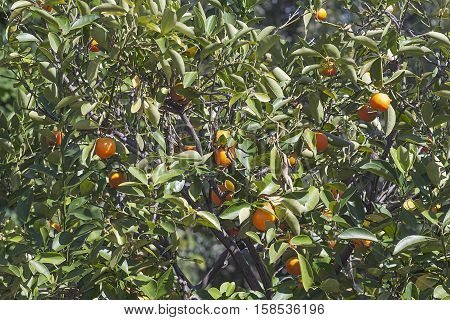 Calamondin tree with fruits (x Citrofortunella microcarpa). Called Calamondin orange Calamansi Calamandarin Golden lime Philippine lime Panama orange China orange Musk orange and Acid orange also. Hybrid between Citrus reticulata and Fortunella japonica