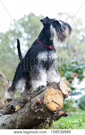 Miniature schnauzer sitting on stump in summertime