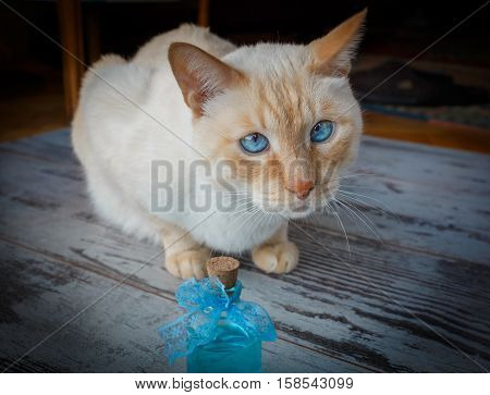 Blue-eyed Cat And Blue Cologne