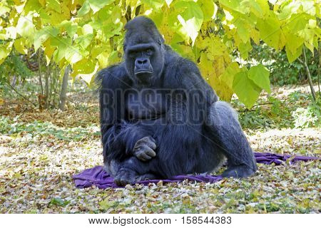 Silverback gorilla sitting green vegetation in Colorado