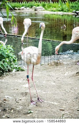 Group of Greater flamingos - Phoenicopterus ruber roseus - in captivity. Animal scene. Birds theme.