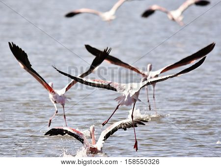 Close up of a flock of lesser Flamingos in the water