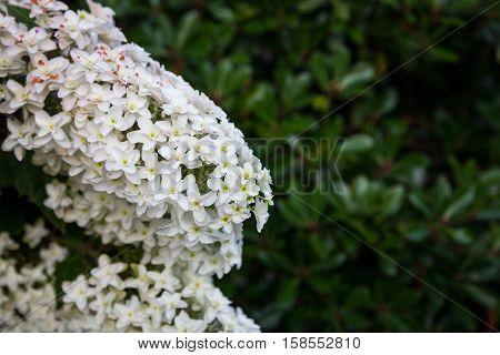 Hydrangea flower full bloom in garden.Hydrangea flower