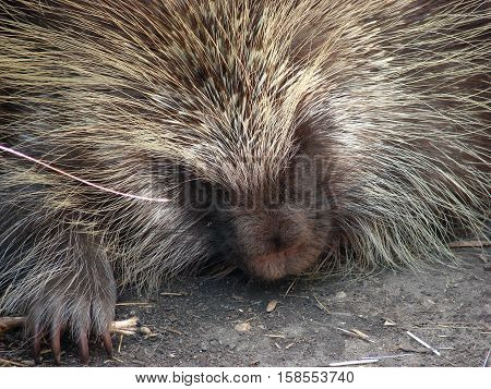 A close up of a  porcupine showing face a claws.