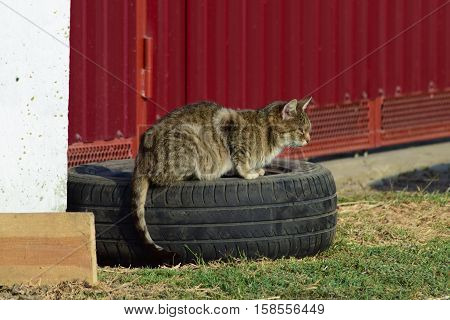 The old tabby cat sitting on a car wheel at the fence. Old age house cats. poster