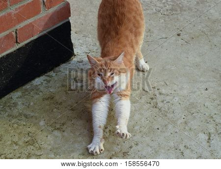 Adult Red - White Cat. Yawning Red Cat