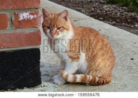 Adult Red- White Cat. Sitting On Concrete Red Cat