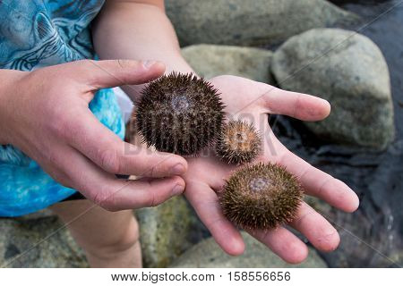 Three live sea urchin on the palms of people on a background of sea stones summer wet