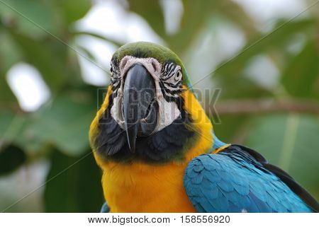 Amazing face of a blue and gold macaw bird with stunning markings.