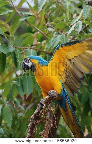 Pretty blue and yellow macaw bird with his wings extended.