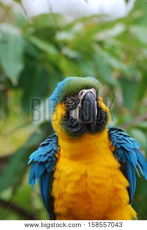 Gorgeous Bolivian blue and gold macaw found in the tropics.