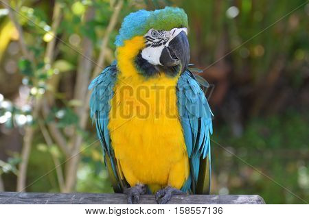 Blue and yellow macaw with blue wings and a butterscoth belly.