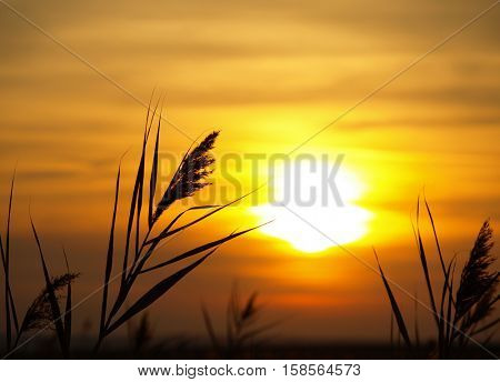 The bulrushes against sunlight over sky background in sunset