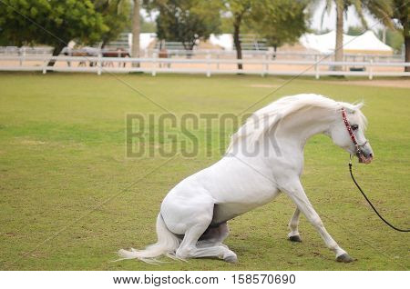 The Arabian white beauty horse with best