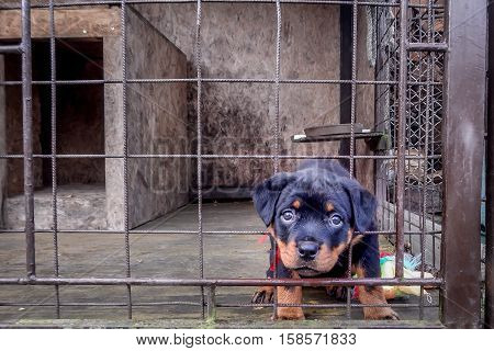 Rottweiler puppy is sad in his dog cage
