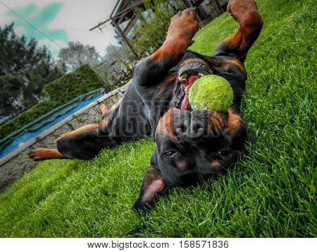 Rottweiler playing outside with the tenis ball
