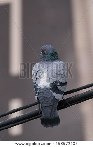 A PIGEON SITS ON A  CABLE. CLOSE-UP OF A PIGEON
