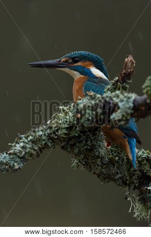 Kingfisher (Alcedo Atthis) perched on lichen covered branch