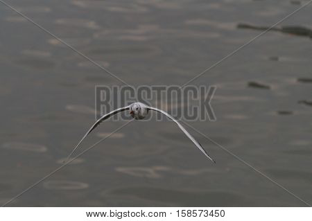 A SEAGULL FLIES ABOVE THE WATER. A SEAGULL IS FLYING OVER THE OCEAN.