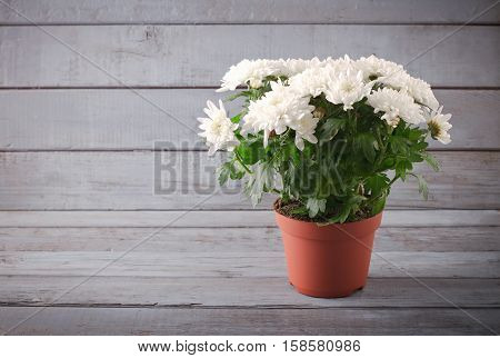White Chrysanthemum in flower pot with gift, greeting card, on grey wooden background.