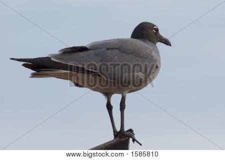 Galapagos Gull