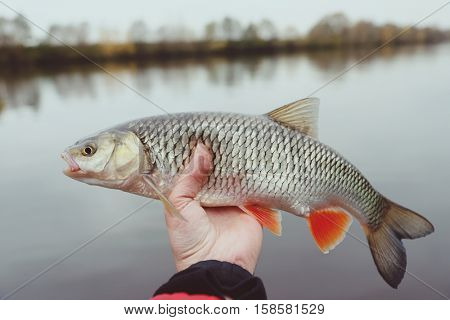 Chub in fisherman's hand, late fall catch, toned image
