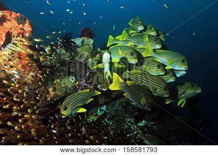 Schooling Glassfish and Ribboned Sweetlips at a Colorful Coral Reef. Raja Ampat Indonesia