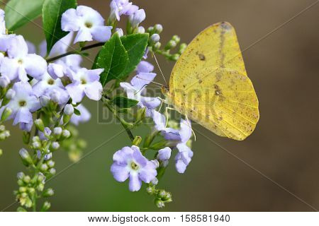 A Large Orange Sulfur butterfly (Phoebis agarithe)