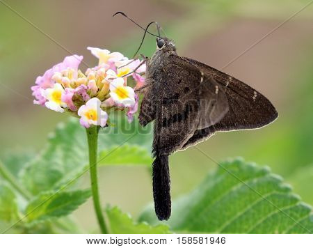 A Brown Longtail butterfly (Urbanus procne) on Lantana flowers