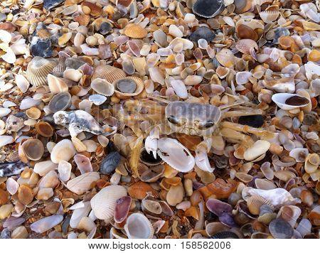 Ghost Crab on Seashells on the Beach