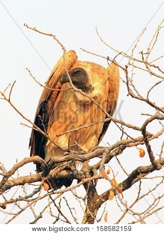 White backed vulture perched in a tree surveying the landscape for prey.  Hwange National Par, Zimbabwe, Southern Africa