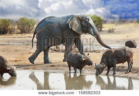 Active waterhole with elephant and cape buffalo in Hwange National Park, Zimbabwe, Southern Africa