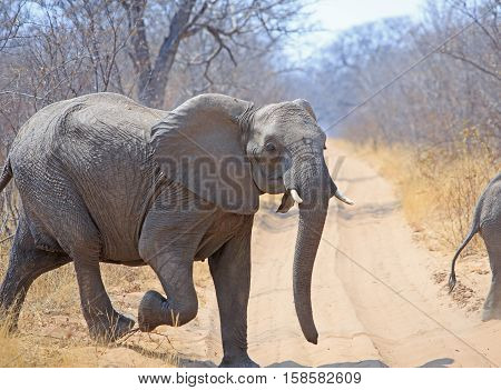 Elephant running across a dirt track after being startled in Hwange National Park, Zimbabwe, Southern Africa