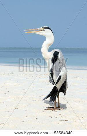 Gray Heron (Ardea Cinerea) on the Beach. Bodufinolhu South Male Atoll Maldives