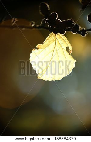 The close-up of a translucent leaf of Japanese Hamamelis in autumn.