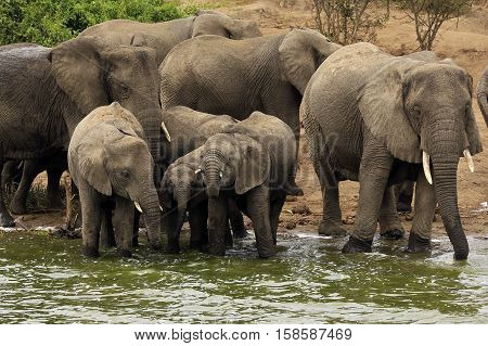 Elephant Family (Loxodonta Africana) Drinking at the River Bank of Kazinga Channel. Queen Elisabeth National Park Uganda