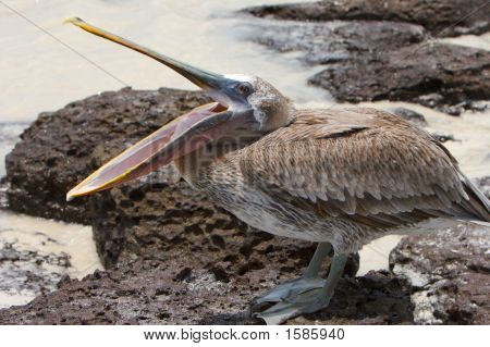 Funny Pelican