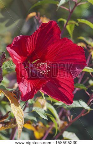 Hybrid hibiscus (Hibiscus coccineus x Hibiscus moscheutos)