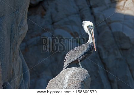 Sunlit Pelican on Pelikan Rock at Los Arcos in Cabo San Lucas Baja Mexico BCS
