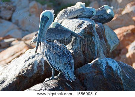 Pelicans roosting on Pelikan rock and boulders at Lands End in Cabo San Lucas Baja Mexico