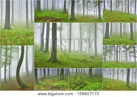 Collage spring beech forest with mist in the background